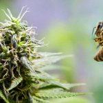 Marijuana Honey